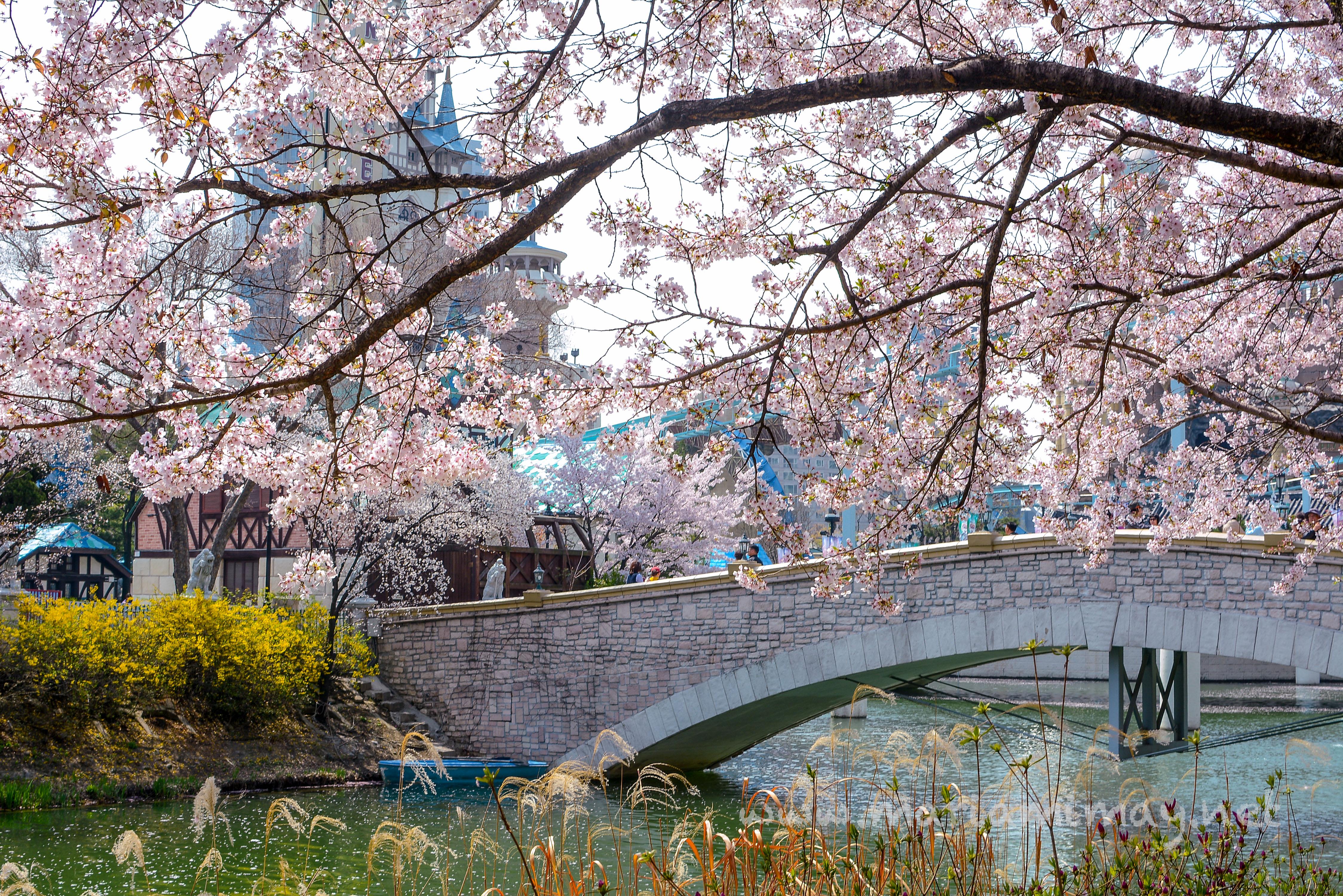 Seokchon Lake Cherry Blossoms – Maria In South Korea
