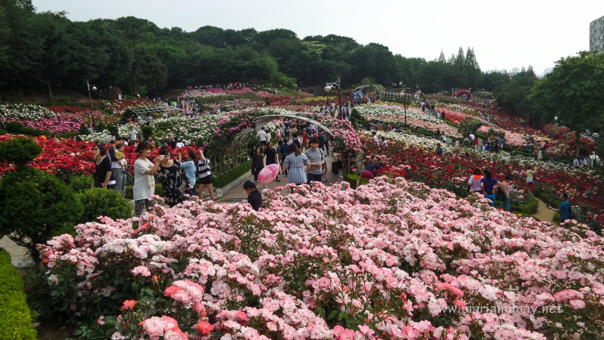 Roses In Garden: When In South Korea